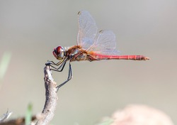 red-veined darter is perching on a twig with soft background