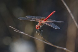 Red-veined darter or Nomad male (Sympetrum fonscolombii)