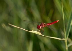 Red-veined darter perched on weed