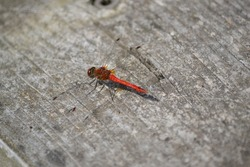Red Veined Darter - Red Dragonfly - close up