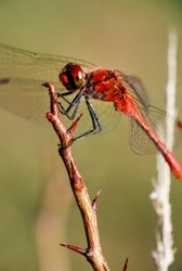 Red-veined darter, red dragonfly on branch