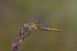 Red veined darter (Sympetrum fonscolombii) with a beautiful colored background