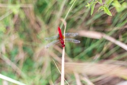 Red-veined dragonfly resting on a plant. Sympetrum fonscolombi.