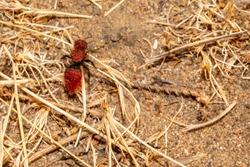 Red velvet ant female wingless