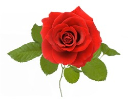 Red velvet rose with leaves isolated on white