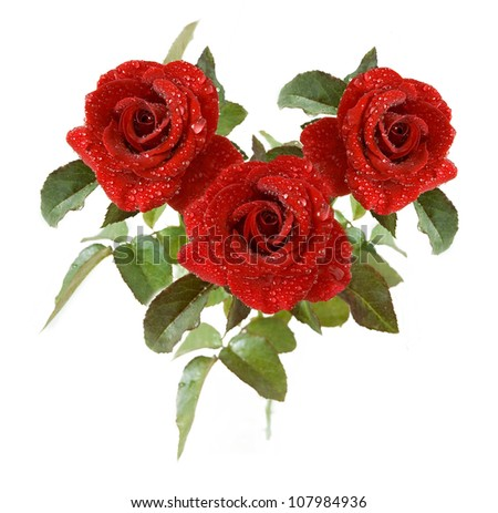 Red velvet roses with  water drops bunch isolated on white background
