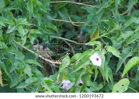 Red-vented bulbuls (Pycnonotus cafer) on a pink morning glory (Ipomoea carnea). Hiran river. Sasan Gir. Gujarat. India.