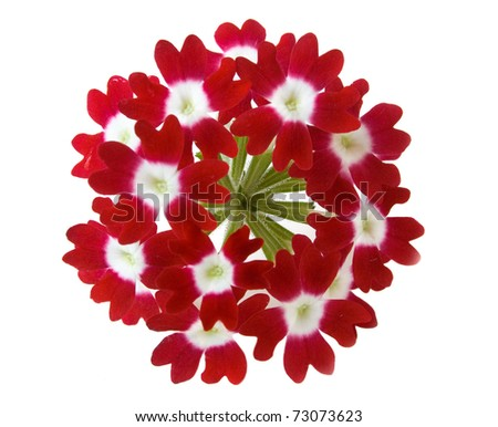 Stock Photo red verbena flower isolated on white background