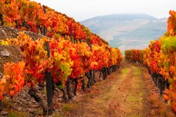 Red vineyards in Douro river valley in Portugal. Portuguese wine region. Beautiful autumn landscape