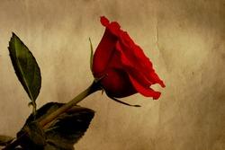 Red vintage rose