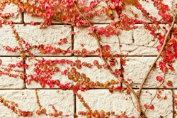 red Virginia creeper climbing up a white wall