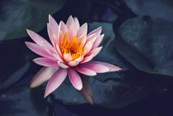 Red Water lilies in sri lanka