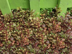 Red watercress, scientifically named Nasturtium officinale W.T. Aiton, is the