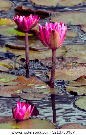 Red Waterlily Afterglow, Nymphaea Afterglow in reflected lillie pads