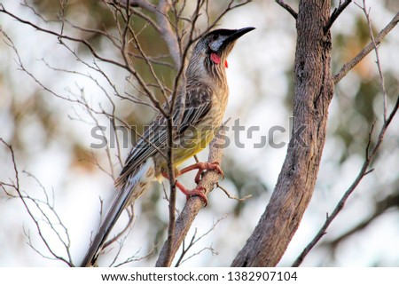 Red Wattlebird (Lichenostomus chrysops), South Australia #1382907104