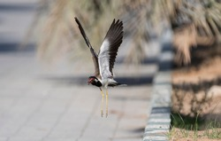 Red-wattled lapwing after takeoff image with both wings up