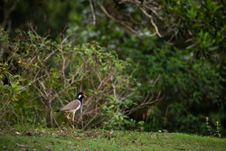 Red-wattled Lapwing (Vanellus indicus) in  Thailand.