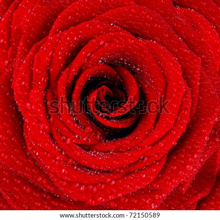 Red wet rose background with dew drops