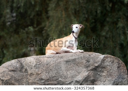 red whippet dog lying down on a rock