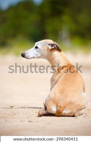 red whippet dog lying down on the beach
