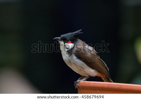 Stock Photo Red-whiskered bulbul