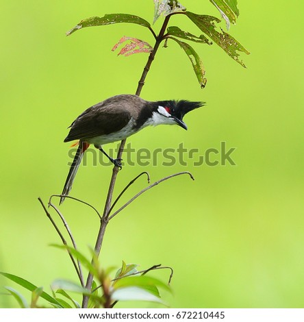 Stock Photo Red-whiskered Bulbul, a song bird, waiting to feed the chicks with small black fruits at Khaoyai national park, Thailand. Wild animal in natural habitat with beautiful light nature green background.