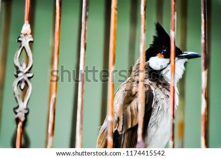 Red-whiskered bulbul is very popular in South Asia, Southeast Asia. To East Asia To hear the beautiful voice And to compete. #1174415542