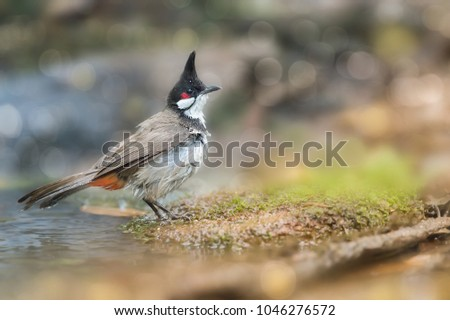 Red-whiskered bulbul (Pycnonotus jocosus) sitting on little log after taking a bath in a puddle, blurred bokeh background, resident bird of Thailand. Wet bird Red -whiskered bulbul - Shutterstock ID 1046276572
