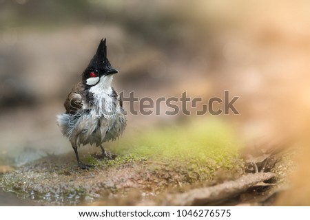 Stock Photo Red-whiskered bulbul (Pycnonotus jocosus) sitting on little log after taking a bath in a puddle, blurred bokeh background, resident bird of Thailand. Wet bird Red -whiskered bulbul