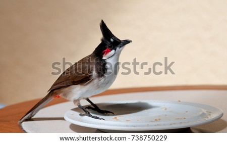 Stock Photo Red-whiskered bulbul, (Pycnonotus jocosus), standing on white plate, pecking at crumbs. Mauritius