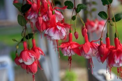 Red-white bells of fuchsia flowers close-up