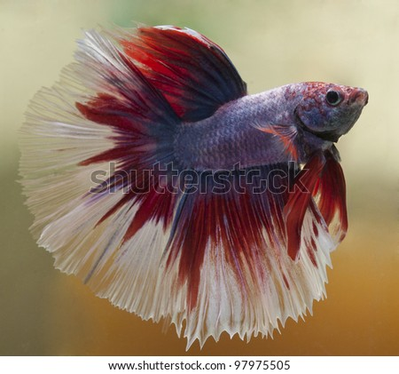 Red,white, blue betta splendons fish