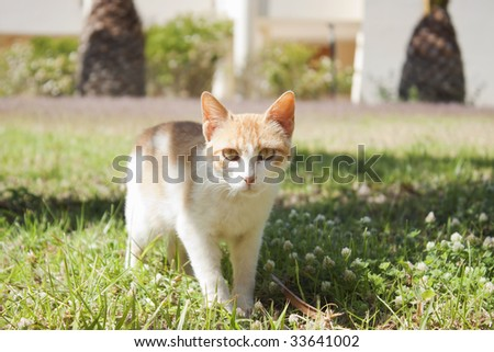 Red white cat standing in grass, looking at viewer. Frontal view.