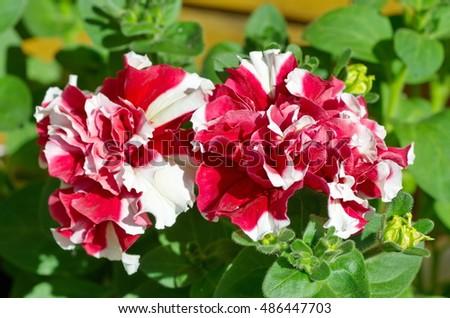 Red-white Petunia close-up #486447703