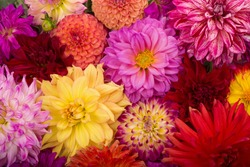 Red, white, yellow dahlia august colorful background. View of multicolor dahlia flowers. Beautiful dahlia flowers on green background. Summer flowers is genus of plants in sunflower family Asteracea