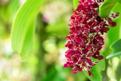 Red wild orchid ( Rhynchostylis gigantea ) on tree in Thailand. Beautiful rare wild orchid in tropical forest of Thailand.