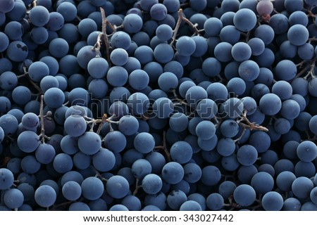 Red wine grapes background/ dark grapes/ blue grapes/ wine grapes