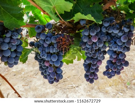 Red wine grapes background. Large bunches of red wine grapes hang from an old vine with green leaves. View of vineyard row .