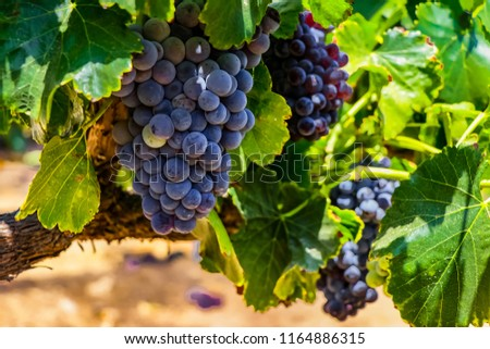 Red wine grapes background. Large bunches of red wine grapes hang from an old vine with green leaves. Close up wine grape picture.
