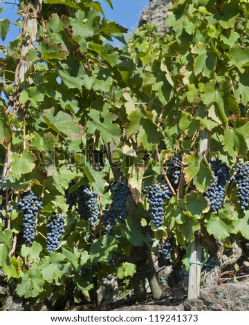 Red Wine Grapes for Harvest