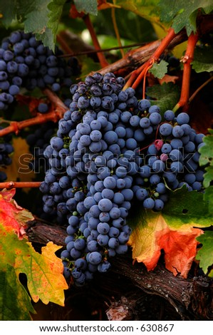 Red wine grapes just before harvest with leaves changing color.