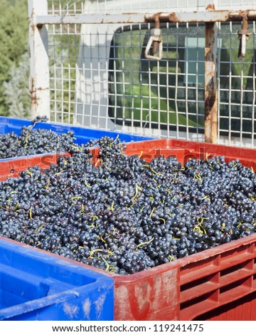 Red Wine Grapes on the Truck for transport to winery