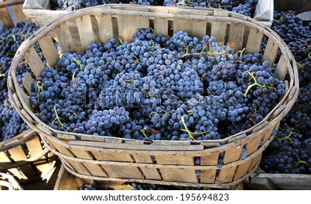Red wine grapes. The harvesting of wine grapes (Vintage) is one of the most crucial steps in the process of winemaking