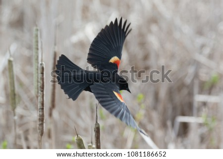 red winged blackbird at Vancouver BC Canada