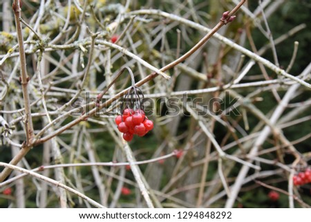 red winter berries #1294848292