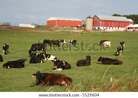red Wisconsin dairy barns with cows