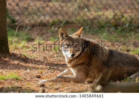 Red wolf (Canis lupus rufus) a rare wolf species  native to the southeastern United States. Picture from ZOO.
