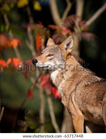 Red Wolf during the fall season