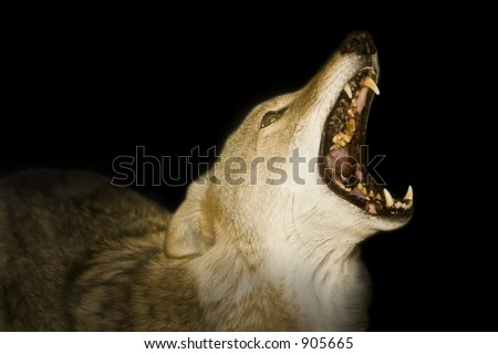 Red wolf howling in the darkness.