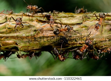 red wood ants on branch with aphids